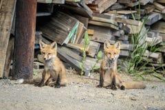 Red Fox Kids in the Adirondacks Stock Image