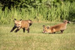 Red Fox Kids Playing in the Adirondacks Royalty Free Stock Image