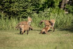 Red Fox Kids Playing in the Adirondacks Stock Photography