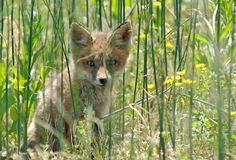 Red Fox Kit Stock Image