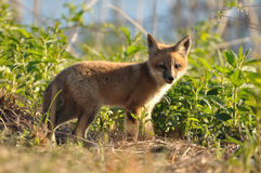 Red Fox Kit. A Red Fox Kit or Pup in the Late Evening Sunshine Royalty Free Stock Images