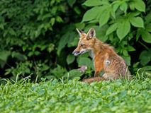 A young Red Fox sits in green grass close to the woods.
