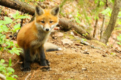 Red Fox Kit Baby. In Algonquin Park royalty free stock images