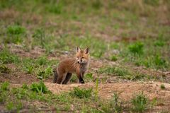 A red fox kit emerging from it`s den royalty free stock image