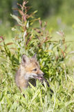 Red fox kit in green meadow Royalty Free Stock Photos