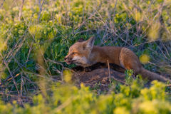Red Fox Kit. A red fox kit hidden within the foliage playing with a stick around sunset stock photography