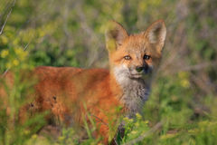 Red fox kit looking forward Royalty Free Stock Photos