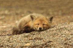 Red Fox Kit Sleeping. Red Fox Kit (vulpes) sleeping near the den Stock Photo
