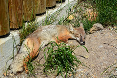 Red Fox Kit Sleeping Stock Photos