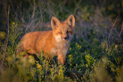 Red Fox Kit in Sunset Light. A red fox kit crept out into a clearing and stopped for a second, allowing the sunset light to bathe over the fox stock image