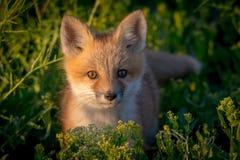 Red Fox Kit in Sunset Light. Red fox kit portrait in sunset light stock photo