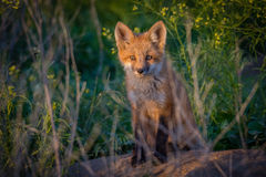 Red Fox Kit in Sunset Light. Red Fox Kit sits next to the den behind grass in sunset light royalty free stock image