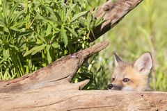 Red fox kit thinking I can see you. Red fox kit playing hide and seek Royalty Free Stock Images
