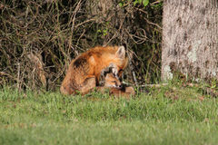 Red Fox With Kit Royalty Free Stock Image