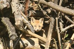 Red Fox Kit Royalty Free Stock Photos