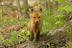 Red Fox Kit Royalty Free Stock Photography