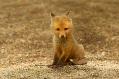 Red Fox Kit Stock Photos