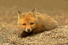 Red Fox Kit Royalty Free Stock Photo
