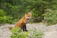 Red Fox kit in Algonquin Park Stock Image