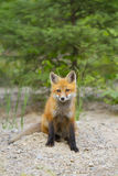 Red fox kit Vulpes vulpes in Algonquin Park in autumn Royalty Free Stock Images