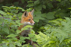 Red fox kit Vulpes vulpes in Algonquin Park hiding in the bushes. Red fox kit Vulpes vulpes in Algonquin Park, Canada hiding in the bushes royalty free stock image