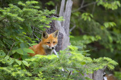 Red fox kit Vulpes vulpes in Algonquin Park hiding in the bushes. Red fox kit Vulpes vulpes with bushy tail in Algonquin Park hiding in the bushes in Canada royalty free stock image