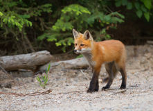 Red fox kit Vulpes vulpes in autumn in Algonquin Park Stock Photo
