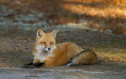 Red fox kit Vulpes vulpes in autumn in Algonquin Park Stock Photography