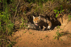 Red Fox Kit Vulpes vulpes Crawls Out of Den Royalty Free Stock Photography