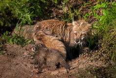 Red Fox Kit (Vulpes vulpes) Crawls About Outside Den Stock Photography