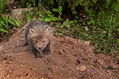 Red Fox Kit (Vulpes vulpes) Creeps Forward Stock Images