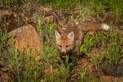 Red Fox Kit Vulpes vulpes Creeps Forward. Captive animal Stock Images