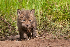 Red Fox Kit (Vulpes vulpes) Creeps Forward out of Den Stock Photos