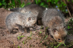 Red Fox Kit (Vulpes vulpes) Digs While Siblings Mill About Stock Photo