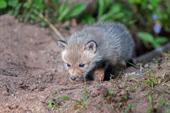 Red Fox Kit (Vulpes vulpes) with Dirty Nose Royalty Free Stock Photos