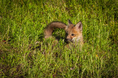 Red Fox Kit Vulpes vulpes Lies in Grass. Captive animal Royalty Free Stock Photography