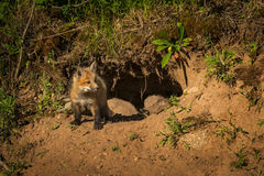 Red Fox Kit Vulpes vulpes Looks Right From Den Royalty Free Stock Photo