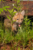 Red Fox Kit (Vulpes vulpes) Looks Through Weeds Royalty Free Stock Photo