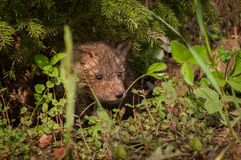 Red Fox Kit Vulpes vulpes Peers Out From Under Pine. Captive animal Royalty Free Stock Image