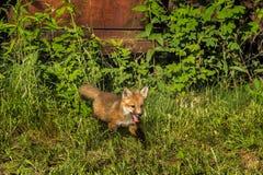 Red Fox Kit (Vulpes vulpes) Runs by Old Truck Stock Photos