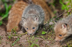 Red Fox Kit (Vulpes vulpes) Sniffs Around Den - Mother in Backgr Stock Photos