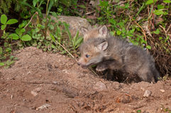 Red Fox Kit (Vulpes vulpes) Springs Out of Den Stock Photos
