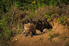 Red Fox Kit Vulpes vulpes Stands in Front of Den Royalty Free Stock Photography