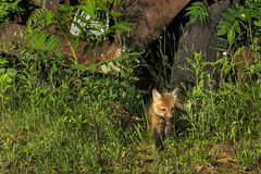 Red Fox Kit (Vulpes vulpes) Steps Out from Under Old Truck Royalty Free Stock Image