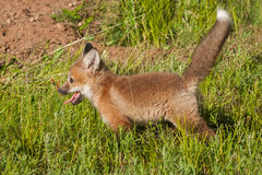 Red Fox Kit (Vulpes vulpes) Tail Up Royalty Free Stock Photography