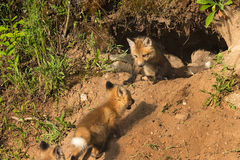 Red Fox Kit (Vulpes vulpes) Watches Others Run Up to Den Royalty Free Stock Images