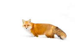 Red fox Vulpes vulpes in winter in Algonquin Park Royalty Free Stock Image