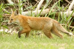 Red Fox Kit Stock Photo