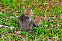 Red Fox Kits Royalty Free Stock Image