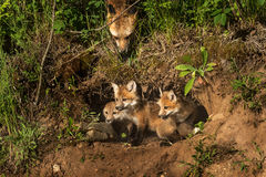 Red Fox Kits in Den (Vulpes vulpes) Mother Watching from Above Stock Photo